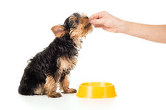 A Person Feeding Puppy Of Yorkshire Terrier Hands Royalty Free Stock Photo