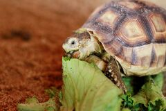 Free A Pet Tortoise Feeding On Leaves In A Pen Stock Photo - 179867170