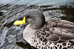 A Picture Of A Yellow Billed Duck Royalty Free Stock Image