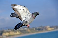 Free A Pigeon Flying Over The Pacific Coast Stock Images - 115986364