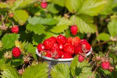 A Pile Of Ripe Tasty Wild Strawberries On The Glade Royalty Free Stock Photos