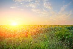 Free A Plantation Of Beautiful Yellow-green Sunflowers After Sunset At Twilight Against A Beautiful Light Sky With Fluffy Clouds Royalty Free Stock Photos - 111624478