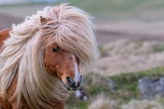 Free A Portrait Of A Lone Shetland Pony On A Scottish Moor On The She Royalty Free Stock Photos - 118809168