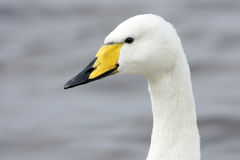 A Portrait Of A Whooper Swan (Cygnus Cygnus) Stock Photo