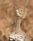 A Portrait Of The Buff-crested Bustard Stock Photo