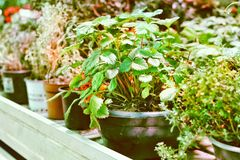 Free A Potted Garden Planted With Herbs, Vegetables, Organic Beans, Strawberries And Much More For A Healthy Diet Royalty Free Stock Images - 144112729