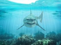 A Predator Great White Shark Swimming In The Ocean Coral Reef Shallows Just Below The Water Line Closing In On Its Victim . Stock Photography