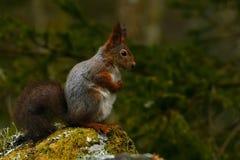 Free A Pregnant Squirrel, Sciurus Vulgaris In Closeup Stock Images - 181813174