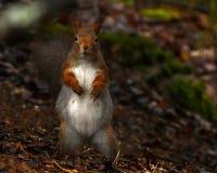 Free A Pregnant Squirrel, Sciurus Vulgaris In Closeup Stock Photos - 181814033