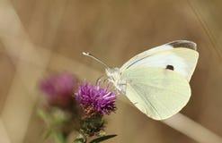 Free A Pretty Large White Butterfly Pieris Brassicae Nectaring On A Pretty Knapweed Flower Centaurea Nigra. Royalty Free Stock Photos - 121731268