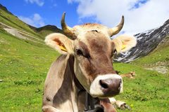 A Pretty Young Brown Cattle With Horns In The Mountains Royalty Free Stock Photography