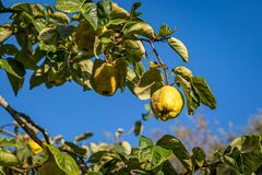 Free A Quince Tree Stock Image - 161454361