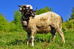 A Ram On A Summer Pasture Stock Image