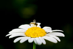 Free A Really Amazing Unreal Camomile Stock Image - 39162731