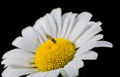 Free A Really Amazing Unreal Camomile Royalty Free Stock Photos - 39163598