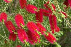 Free A Red Bottlebrush Bush (Callistemon) Royalty Free Stock Images - 41968289
