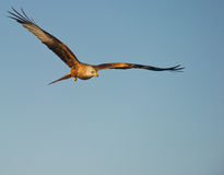 A Red Kite At Sunrise Royalty Free Stock Photo