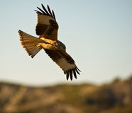 A Red Kite In Total Control Royalty Free Stock Images
