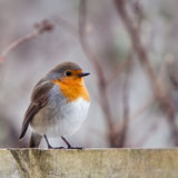 A Red Robin Bird Sitting On A Fence Royalty Free Stock Images