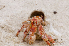 A Red Small Crab With His Shell Walking On White Sand Close Up Royalty Free Stock Photos