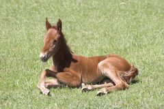 A Resting Colt Royalty Free Stock Image