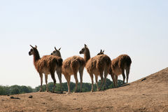 A Row Of Llamas (Guanaco) Royalty Free Stock Photo