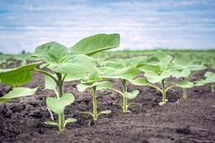 Free A Row Of Young Sunflower Plants On A Clean Field Of Weeds Royalty Free Stock Image - 117063646