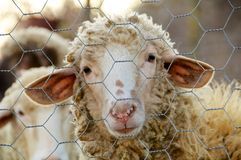 Free A Sad Sheep Stock Images - 30941994