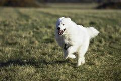 A Samoyed White Alaskan Husky Royalty Free Stock Photos