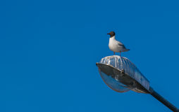 Free A Sea Gull Sitting The Lantern Stock Photography - 75247792