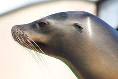 A Sea Lion Stock Images