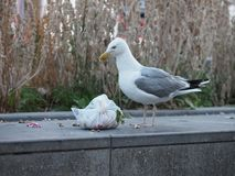 A Seagull Tears A Garbage Bag Open Stock Photography
