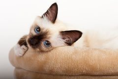 Free A Seal Point Birman Cat, 4 Month Old Kitten, Male. Stock Photos - 94676663