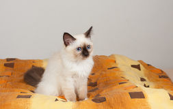 Free A Seal Point Birman Cat, 4 Month Old Kitten, Male. Royalty Free Stock Photo - 95108495