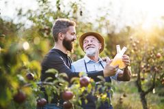Free A Senior Man With Adult Son Holding Bottles With Cider In Apple Orchard In Autumn. Royalty Free Stock Photography - 130257527
