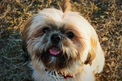 A Shih Tzu Stock Photo