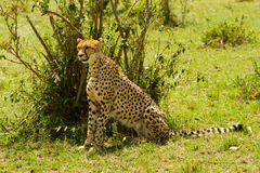 Free A Sit-up Straight Cheetah Royalty Free Stock Image - 23040336