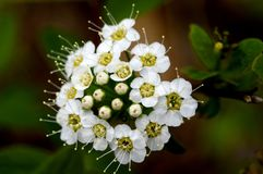 Free A Small Bouquet Of Meadowsweet Forest Royalty Free Stock Photos - 117003128