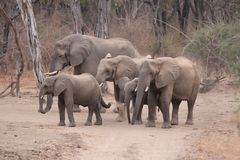 A Small Herd Of Elephants Running Away In South Luangwa National Royalty Free Stock Photography