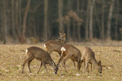 A Small Herd Of Female Roe Deer Royalty Free Stock Images