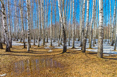 A Small Puddle At The Edge Of A Birch Grove, Early Spring. Stock Photo