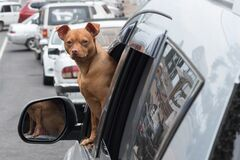 Free A Small Red Dog Looks Out Of The Car Window. The Dog Looks Directly At The Camera. Companion Dog. Curiosity Royalty Free Stock Images - 187838469