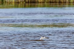 Free A Small River Gull Hunts Fish In The Pond Stock Photo - 150989740
