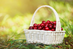 Free A Small Wicker Hand Basket Full Of Ripe Cherry In The Sun Light Stock Image - 75716821