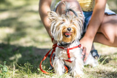 A Small Yorkshire Terrier Dog Sitting Sitting Near The Feet Of Its Owner Girl Stock Image