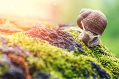 Free A Snail In The Natural Environment. Macro. Close Up Nature Image Royalty Free Stock Images - 108059619