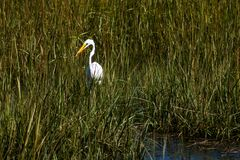 Free A Snowy Egret Looking For Lunch Royalty Free Stock Photos - 125283348