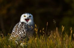 Free A Snowy Owl Stock Images - 105095504