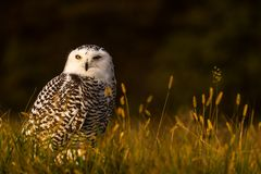 Free A Snowy Owl Stock Images - 105095734