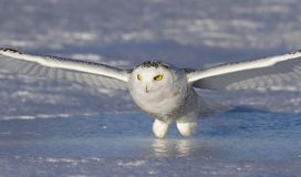 Free A Snowy Owl Bubo Scandiacus Coming In For The Kill At Sunset Over A Snow Covered Field In Canada Royalty Free Stock Photos - 104762008